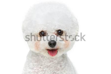 Belo cão isolado branco cópia espaço feliz Foto stock © svetography
