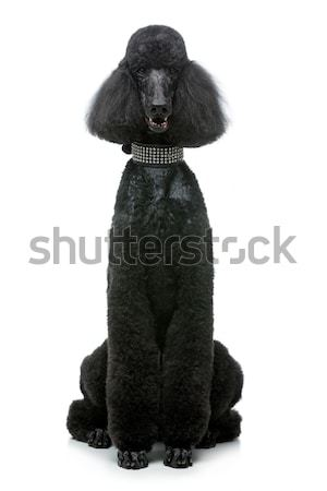 beautiful black poodle dog isolated on white Stock photo © svetography