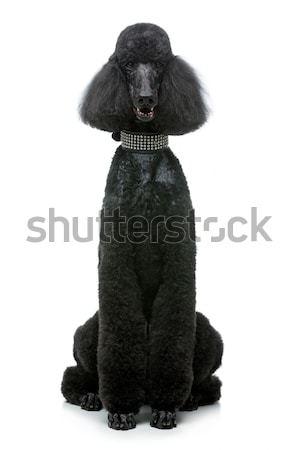 Gyönyörű fekete uszkár kutya izolált fehér Stock fotó © svetography