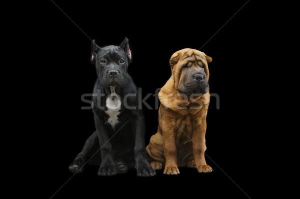 Foto stock: Belo · dois · cachorro · cães · isolado
