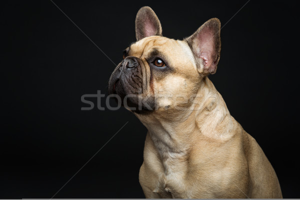 Güzel fransız buldok köpek portre genç Stok fotoğraf © svetography