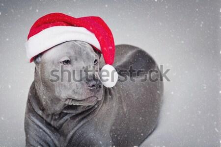 Zwarte kerstmis hoed mooie hond Rood Stockfoto © svetography