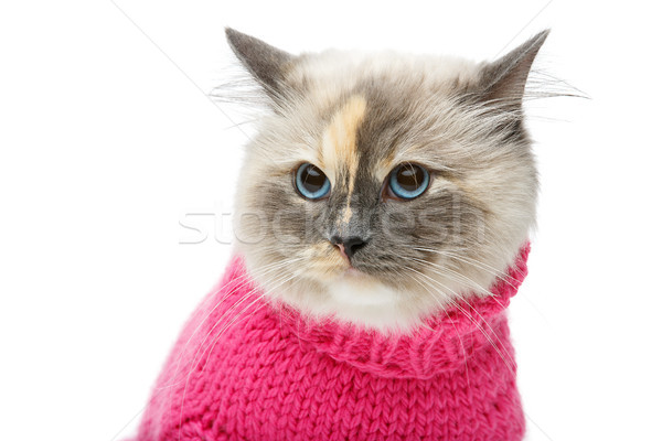 Stock photo: beautiful birma cat in pink pullover