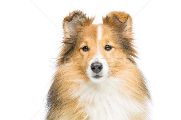 Stok fotoğraf: Kahverengi · köpek · güzel · yalıtılmış · beyaz · bo