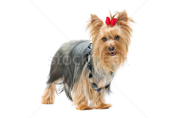 Mooie yorkshire terriër permanente hond Rood Stockfoto © svetography