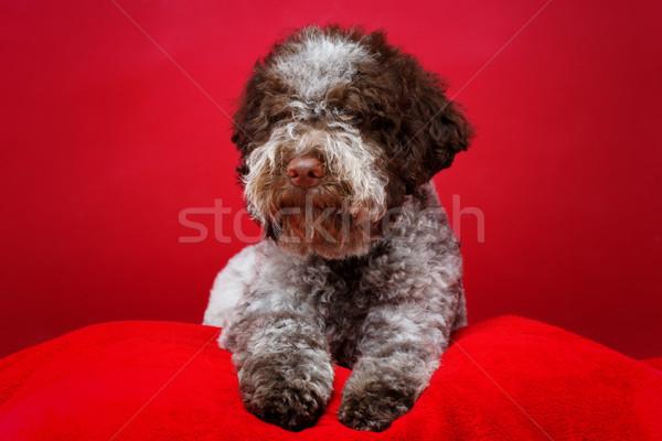 Güzel kahverengi kabarık köpek yavrusu köpek Stok fotoğraf © svetography