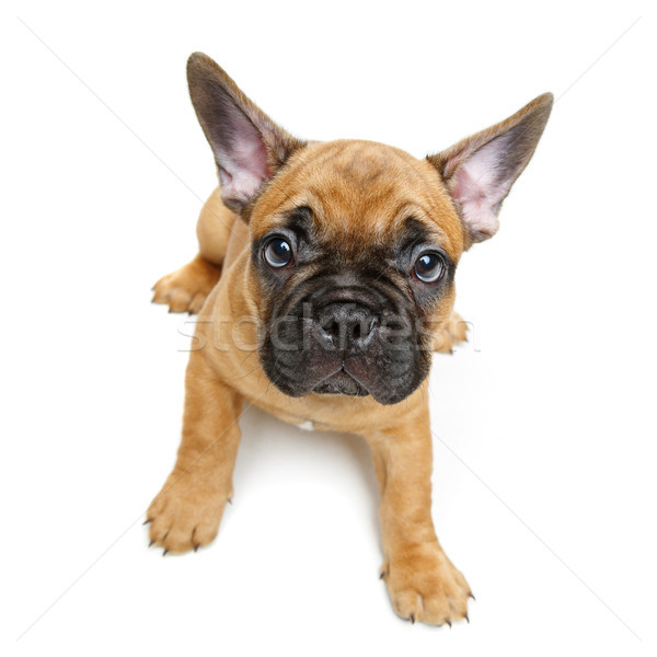 cute french bulldog puppy Stock photo © svetography