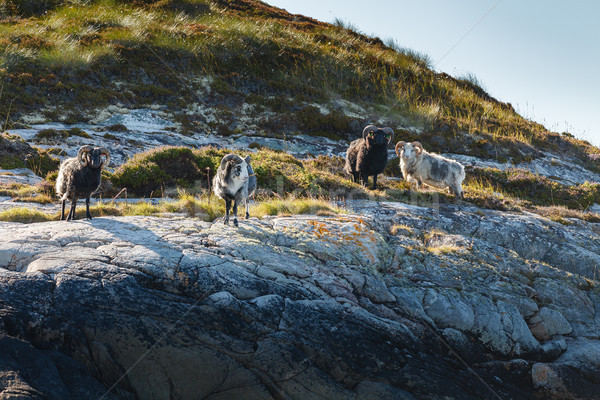 Beautiful view on island with rams Stock photo © svetography