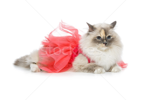 beautiful birma cat in pink dress Stock photo © svetography