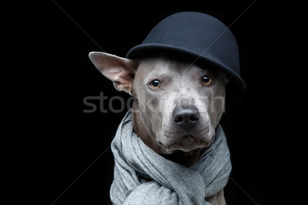 beautiful thai ridgeback dog in cap and scarf Stock photo © svetography
