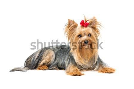 Güzel yorkshire terriyer köpek kırmızı yay Stok fotoğraf © svetography