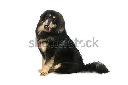 красивой большой дог собака портрет сидят Сток-фото © svetography