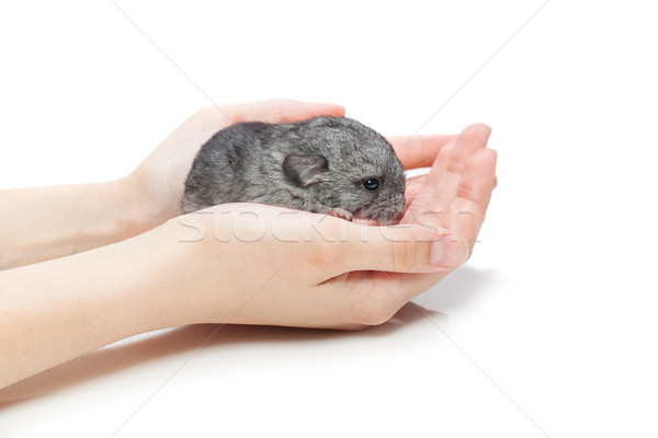 Chinchilla baby sitting on hands Stock photo © svetography