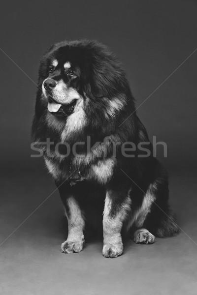 Foto d'archivio: Bella · grande · cane · primo · piano · ritratto