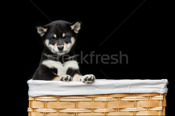 Beautiful shiba inu puppy in basket Stock photo © svetography