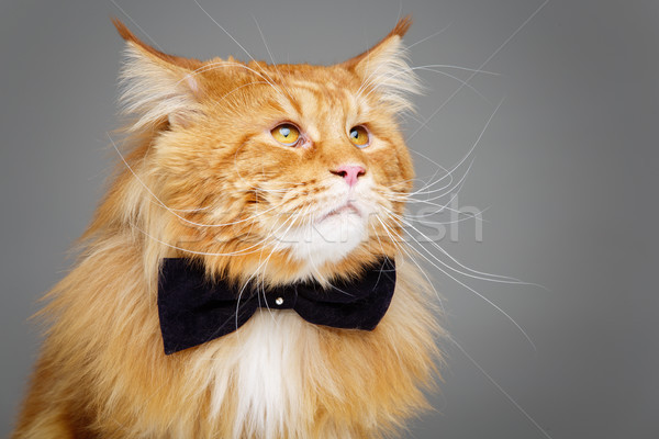 Beautiful maine coon cat with bow tie Stock photo © svetography