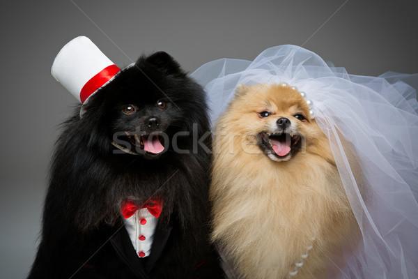 Foto stock: Cão · casamento · casal · belo · cinza · noiva
