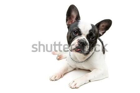french bulldog dog isolated on white background Stock photo © svetography
