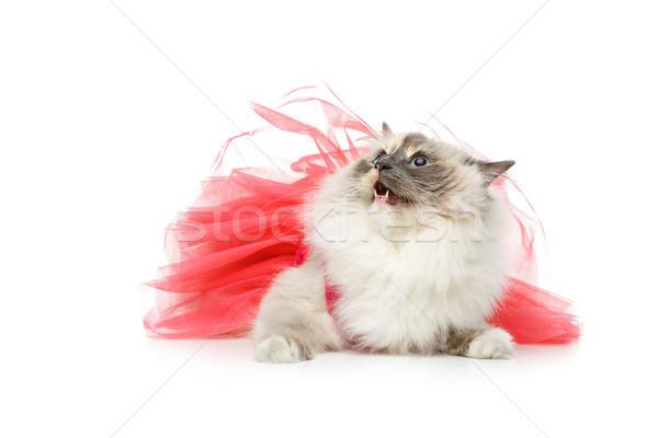 Stock photo: beautiful birma cat in pink dress