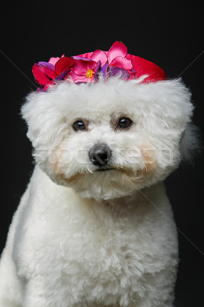 beautiful bichon frisee dog in cute hat Stock photo © svetography