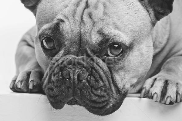 美しい フランス語 ブルドッグ 犬 肖像 小さな ストックフォト © svetography