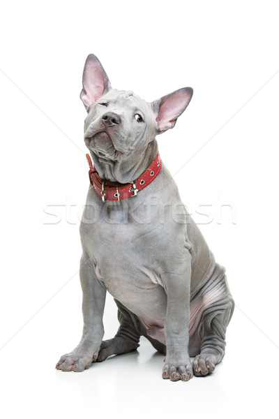 Thai ridgeback puppy Stock photo © svetography