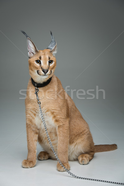 Beautiful caracal lynx sitting over grey background Stock photo © svetography