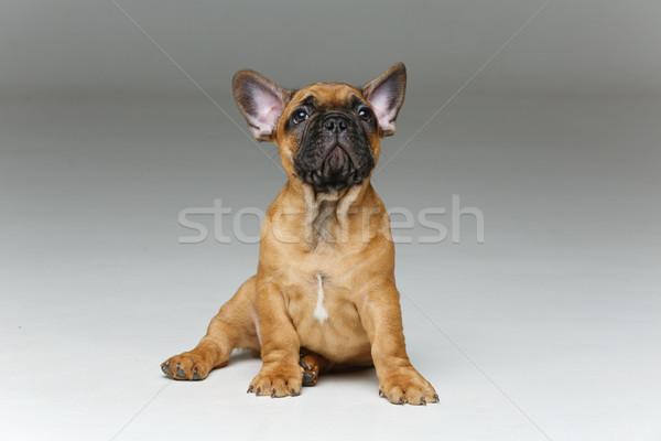 Aranyos francia bulldog kutyakölyök gyönyörű kicsi Stock fotó © svetography