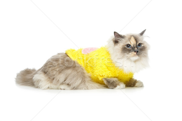 beautiful birma cat in yellow pullover Stock photo © svetography