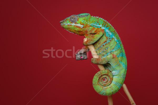 żywy Chameleon gad mały Fotografia Zdjęcia stock © svetography