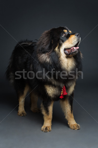 красивой большой дог собака портрет Сток-фото © svetography