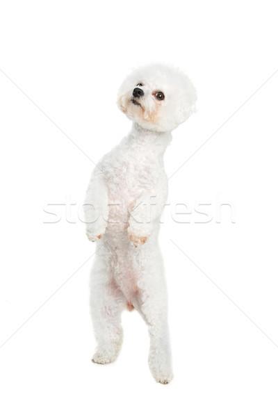 Сток-фото: красивой · собака · Постоянный · два · Лапы · изолированный