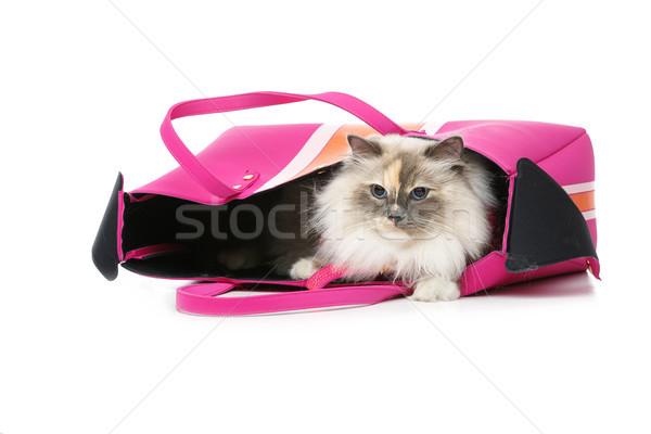 beautiful birma cat in pink pullover Stock photo © svetography