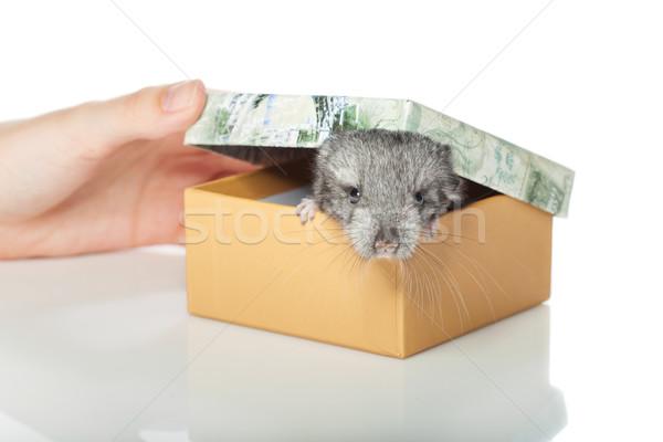 チンチラ ボックス 赤ちゃん 座って 孤立した 白 ストックフォト © svetography