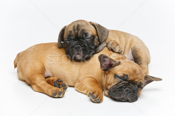 Aranyos francia bulldog kiskutyák alszik gyönyörű Stock fotó © svetography
