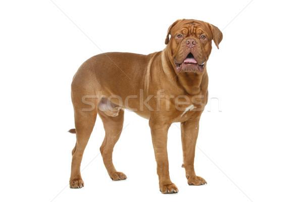 美しい ボルドー 犬 小さな 立って ストックフォト © svetography