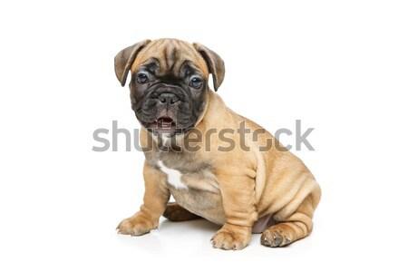 Bonitinho francês buldogue cachorro belo pequeno Foto stock © svetography