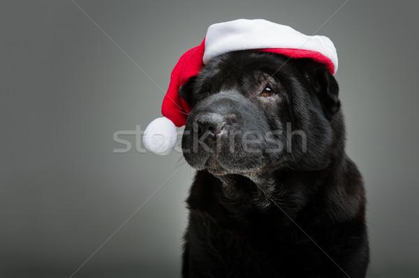 black shar pei in xmas hat Stock photo © svetography