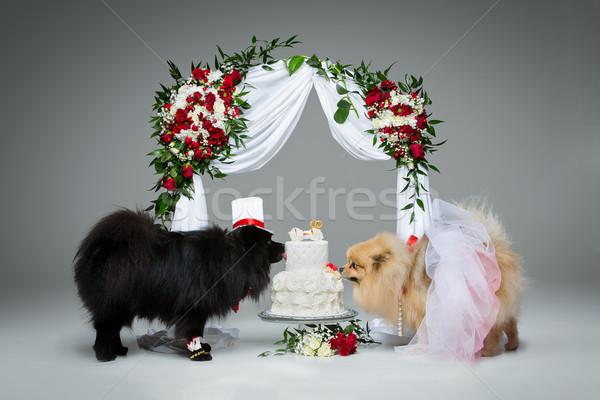 Foto stock: Cão · casamento · casal · flor · arco · belo