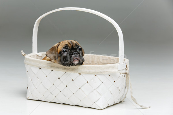 cute french bulldog puppy in basket Stock photo © svetography