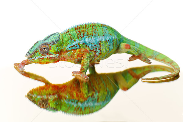 alive chameleon reptile Stock photo © svetography
