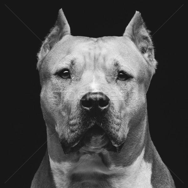 Staffordshire bull terrier Stock photo © svetography