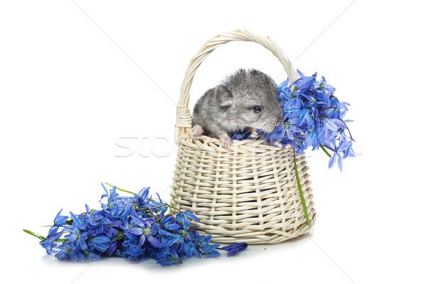 шиншилла корзины цветы ребенка сидят синий Сток-фото © svetography