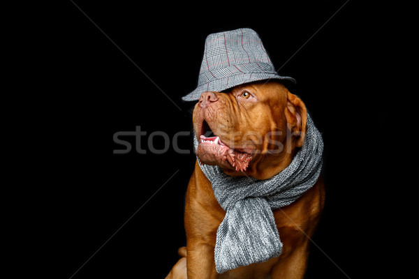 beautiful bordeaux dogue dog in scarf Stock photo © svetography