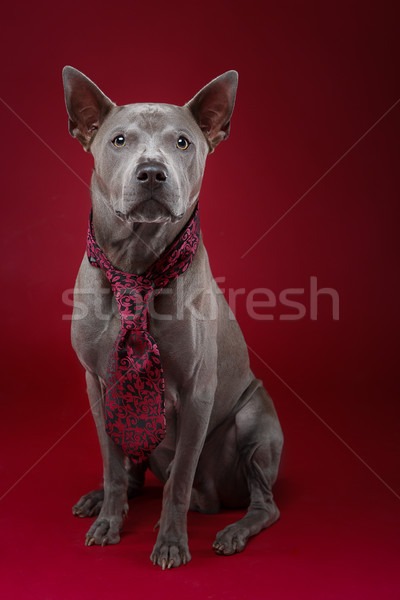 beautiful thai ridgeback dog in tie Stock photo © svetography