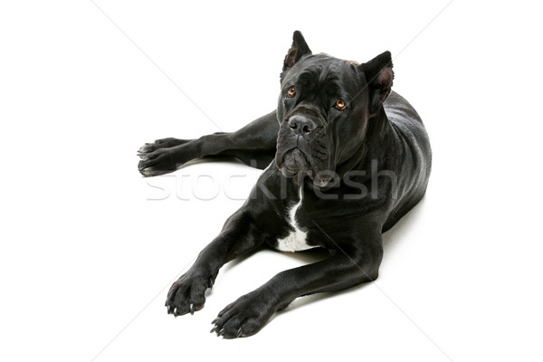 Cane corso dog Stock photo © svetography