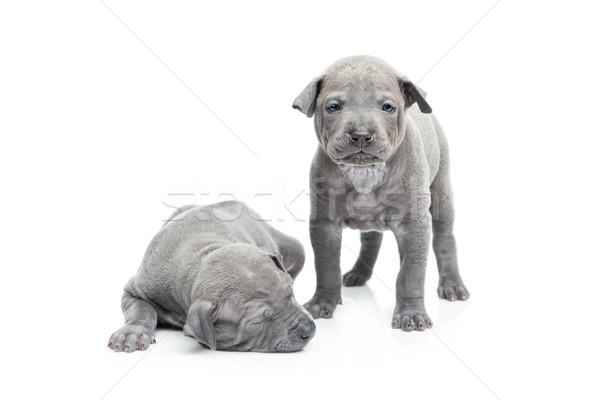 Dos tailandés cachorros aislado blanco uno Foto stock © svetography