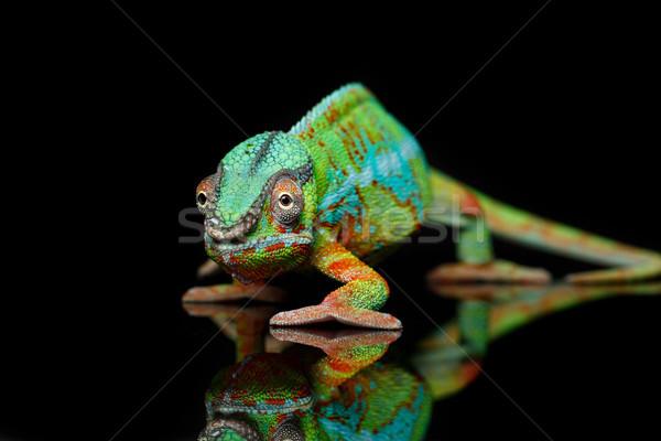 Vivo camaleão réptil preto cópia espaço Foto stock © svetography