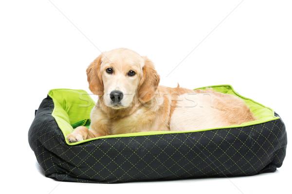 Foto stock: Jovem · golden · retriever · cão · verde · cachorro · travesseiro