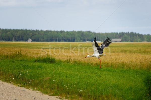 Storch unter Wiese Freien erschossen Licht Stock foto © svetography